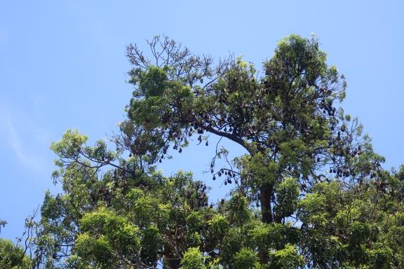 Hundreds of bats sleep in a tree opposite Wat Phnom.